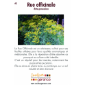 Rue officinale